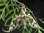 Oleander Hawk-moth (Daphnis nerii)
